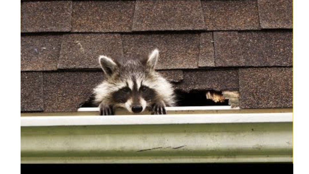 racoon_peaking_out_of_hole_from_roof-pensacola_roofing_company-freeman_roofing.png