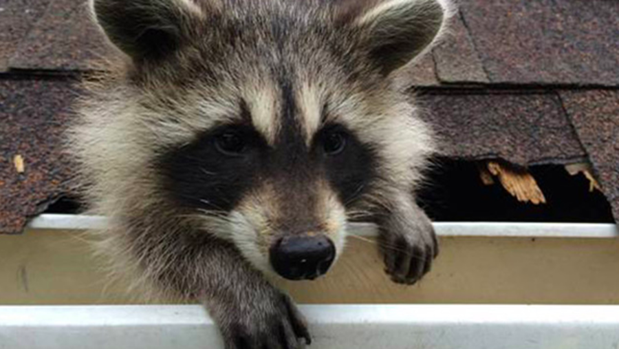 raccoon_tearing_up_a_roof__freeman_roofing_4201_auckland_pace__fl_32571_(850)_994-1078__https-::g.page:pensacola-roof-repair?share.png