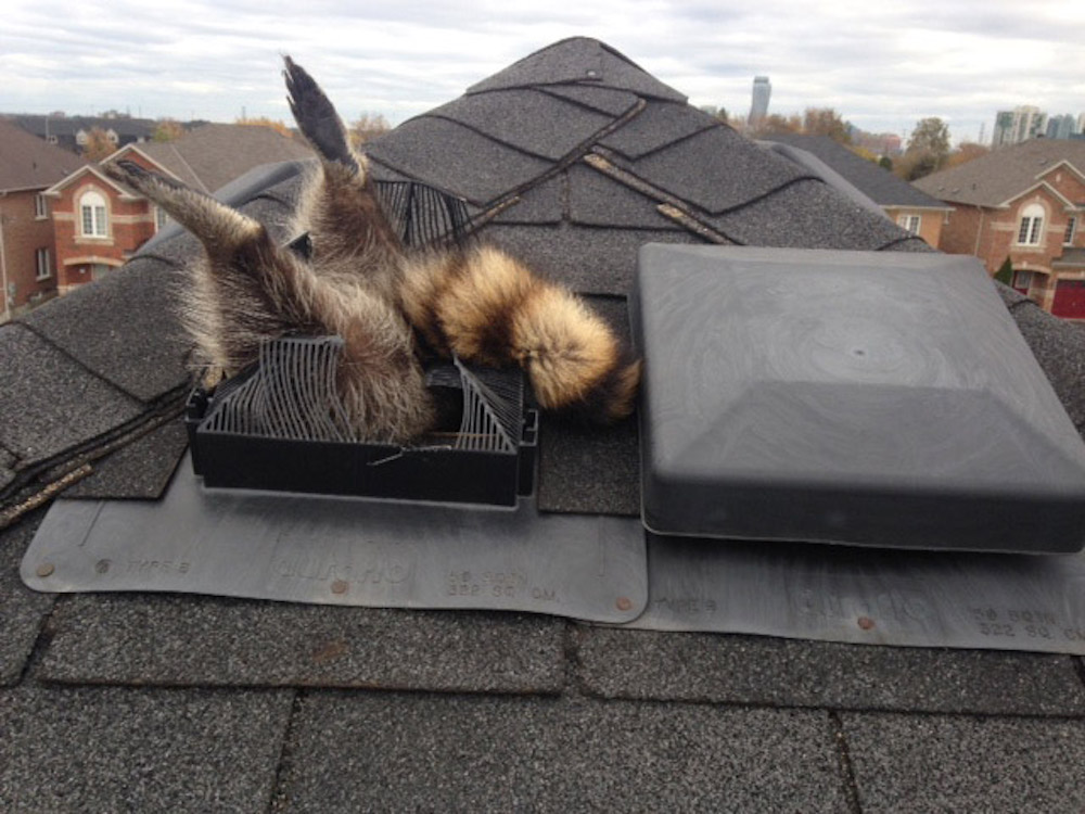 poor_raccoon_roofer__freeman_roofing_4201_auckland_pace__fl_32571_(850)_994-1078__https-::g.page:pensacola-roof-repair?share.jpg