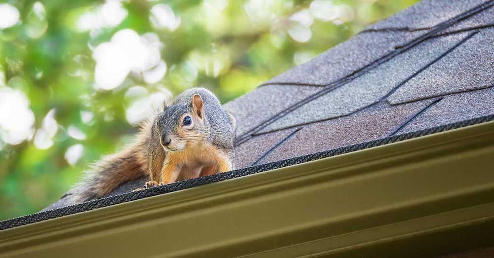squirrel_on_roof__freeman_roofing_4201_auckland_pace__fl_32571_(850)_994-1078__https-::g.page:pensacola-roof-repair?share.jpg